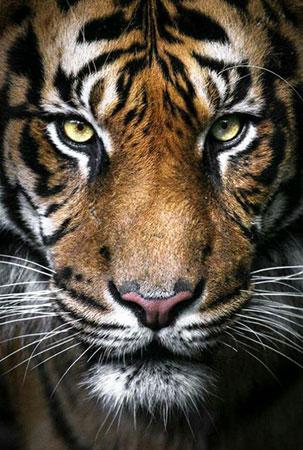 Malen nach Zahlen Bild Tiger - WD2395 von Sonstiger Hersteller