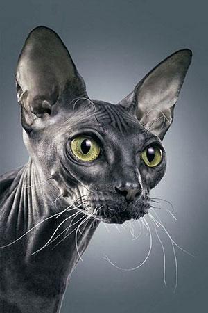 Dunkle Sphynx-Katze