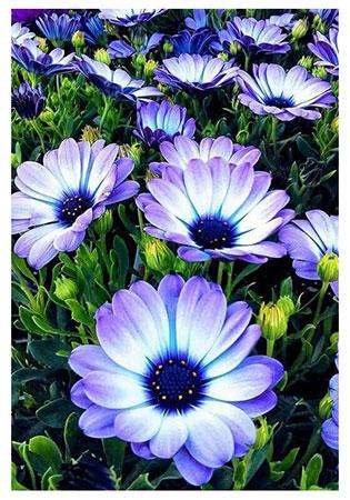 Malen nach Zahlen Bild Alpenblumen - WD2394 von Sonstiger Hersteller
