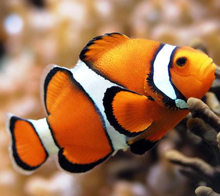 Malen nach Zahlen Bild Clown Fisch - AZ-1061 von Sonstiger Hersteller