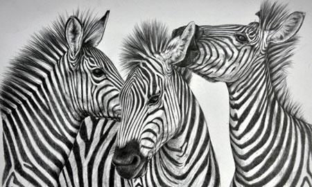 Spielende Zebras