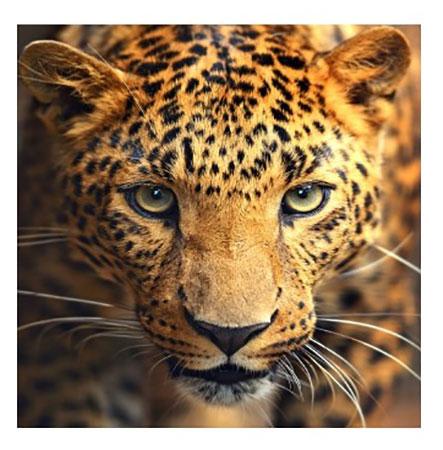 Malen nach Zahlen Bild Leoparden-Portrait - AZ-1400 von Sonstiger Hersteller