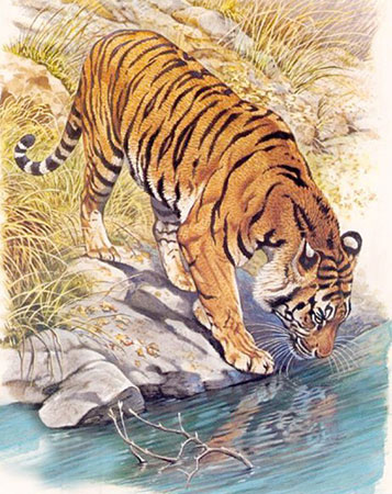 Malen nach Zahlen Bild Tiger am Flusslauf - AZ-1523 von Sonstiger Hersteller