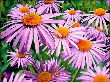 Blumentraum in Viollet