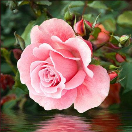 Rose im See