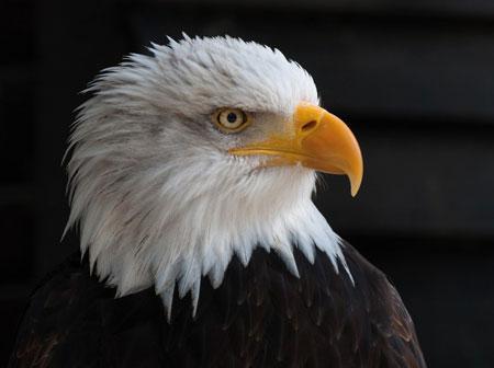 Wachsamer Adler