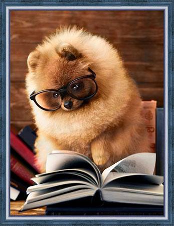 Lesender Pomeranian