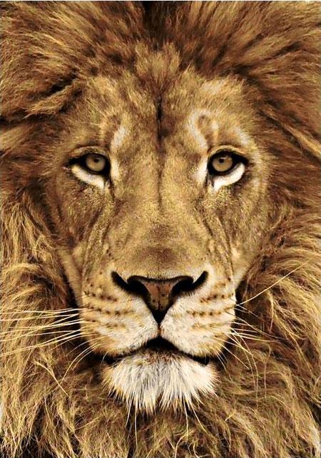 Malen nach Zahlen Bild König der Tiere - WD068 von Sonstiger Hersteller