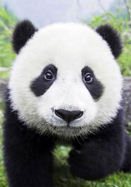 Neugieriger Panda