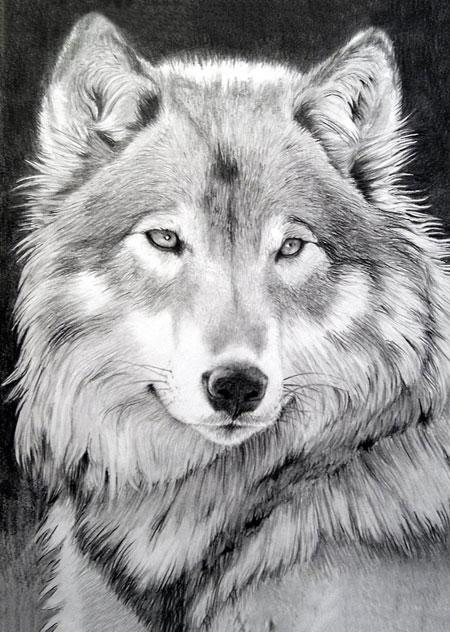 Malen nach Zahlen Bild Königliche Wolf - WD086 von Sonstiger Hersteller