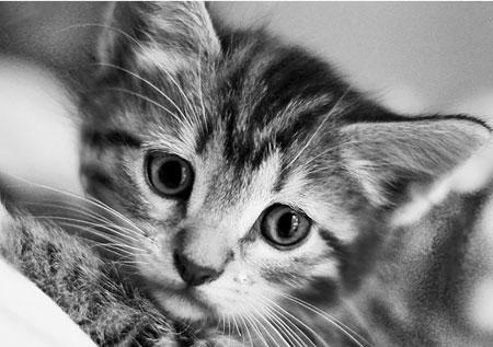 Kätzchen in Schwarz-Weiß