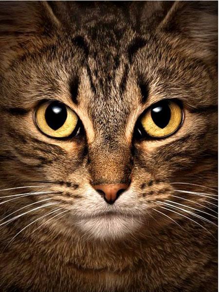 Malen nach Zahlen Bild Weise Katze - WD280 von Sonstiger Hersteller
