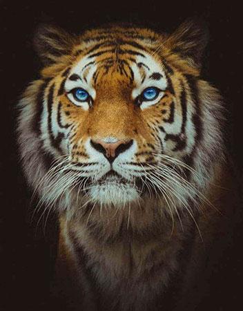 Malen nach Zahlen Bild Diamond Painting - Der Tiger - LG165e von Protsvetnoy
