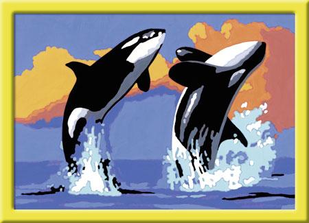 Verspielte Orcas